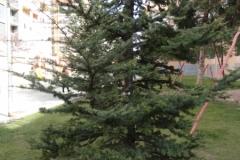 arbre_Pl_Caterina_Albert