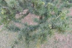 arbre_Pl_Caterina_Albert2